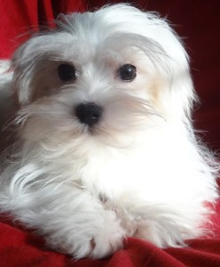 Beautiful Maltese, no tear staining! Nice and clean, white face.