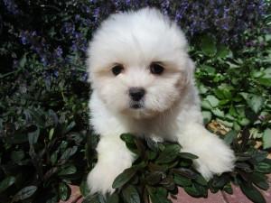 A Buttercup puppy!