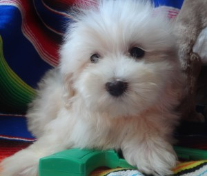 Maltipoo! Sorry, he has found a new home!