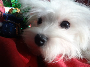 Maltese Info | Holistically Raised Puppies